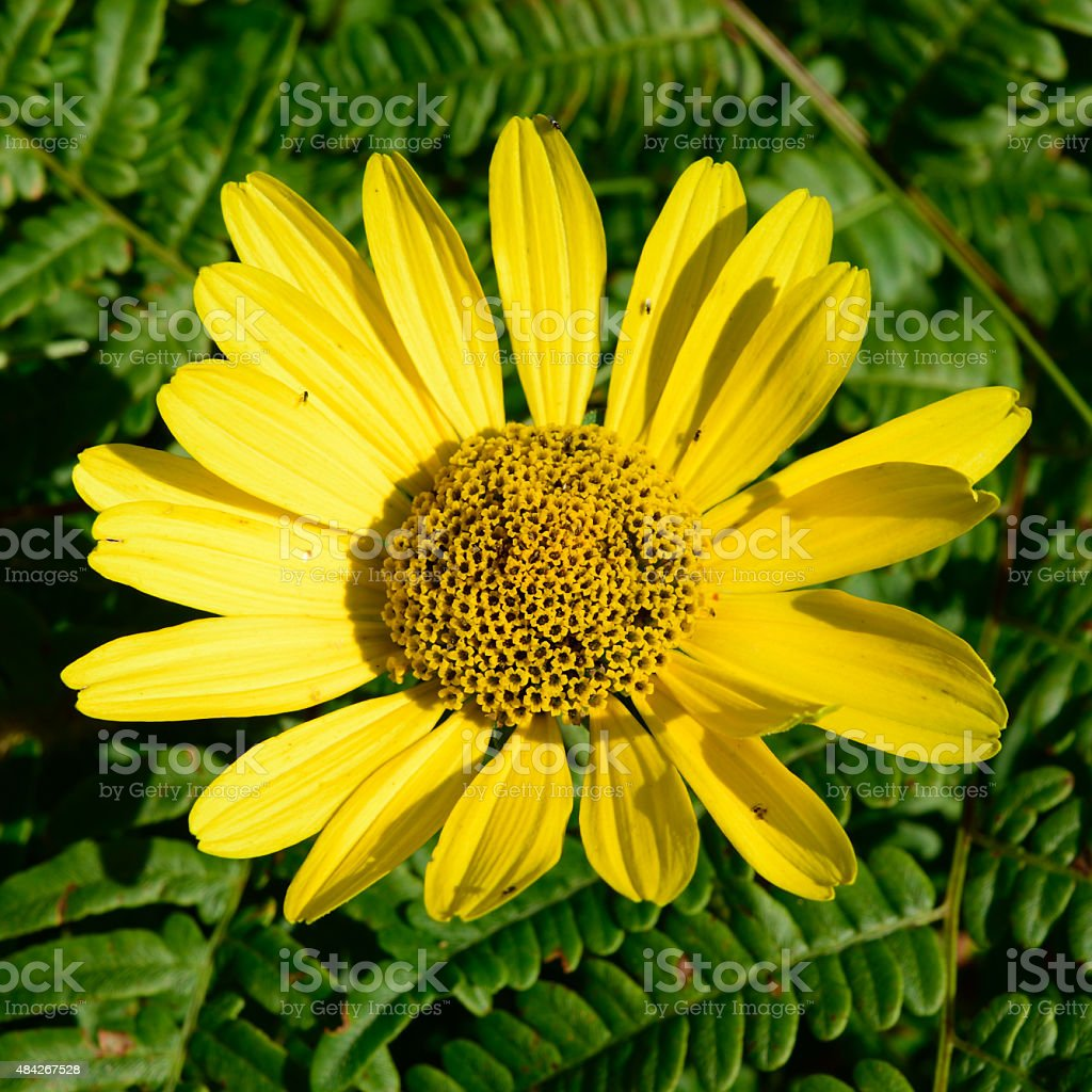Wild Sunflower (Helianthus) with Bracken Fern (Pteridium aquilinum) in Background stock photo