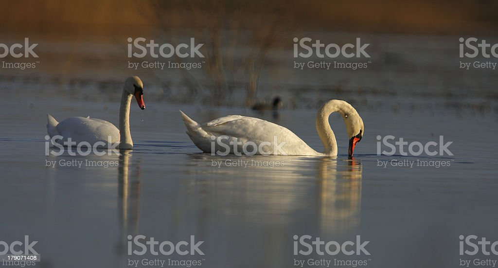 Wild swans on a lake royalty-free stock photo