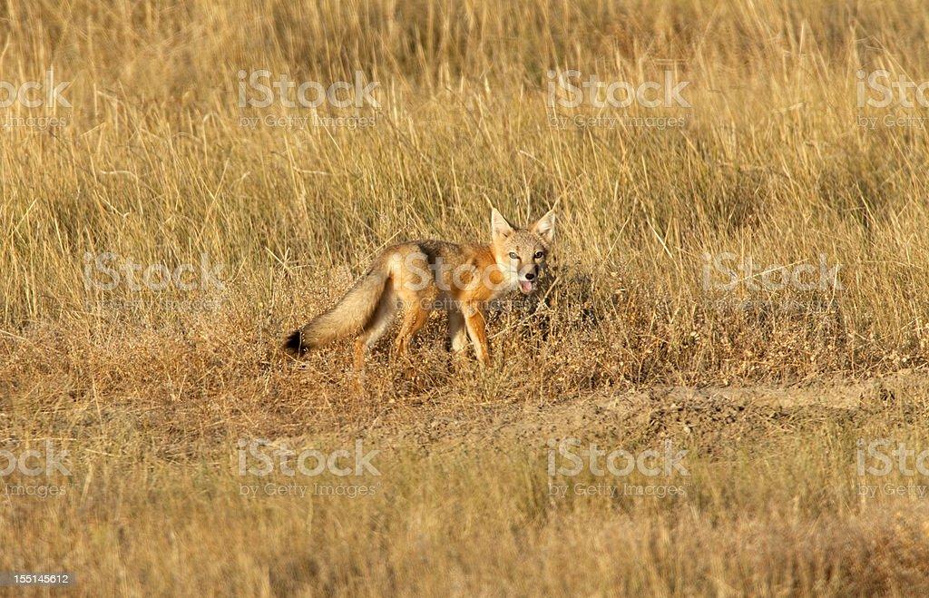 Wild swift fox eating in Wyoming grasslands horizontal stock photo