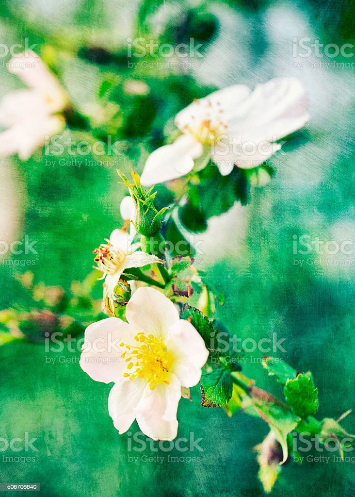 Wild tea-roses postcard background stock photo