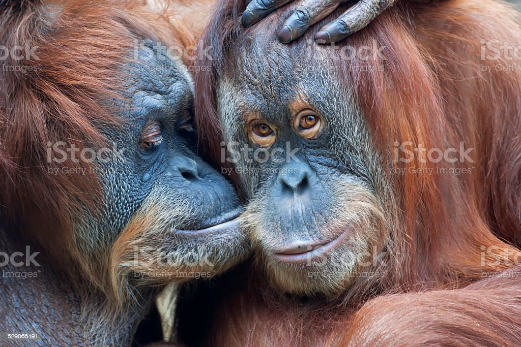 Wild tenderness among orangutan. stock photo