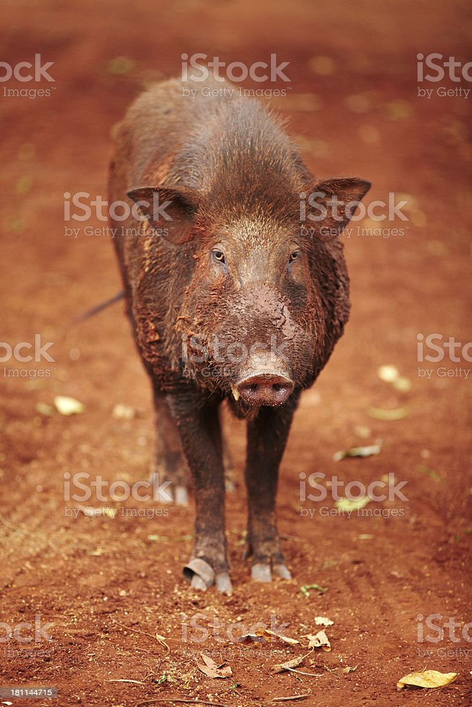 Wild Thai boar looking at the camera royalty-free stock photo