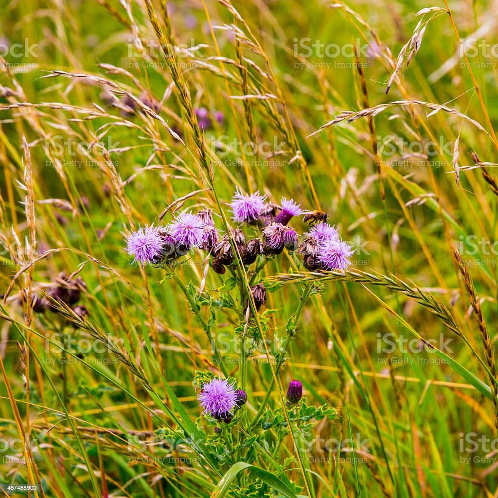 Wild thistle flowers in meadow royalty-free stock photo