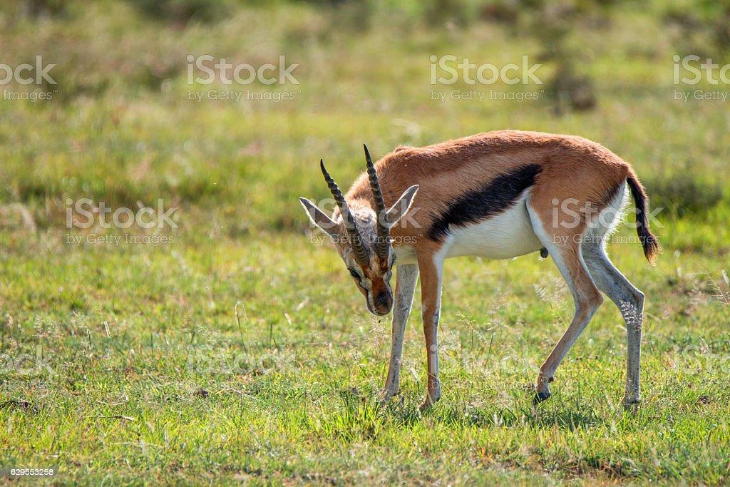 Wild Thompson's gazelle stock photo