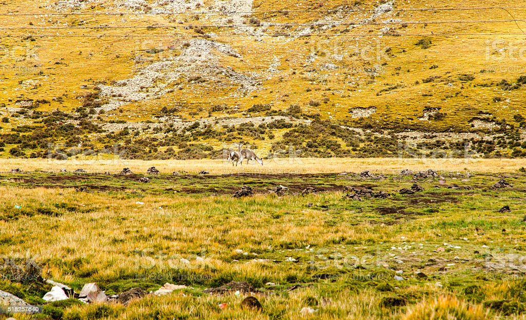 Wild Tibetan antelope, Tibet, China stock photo