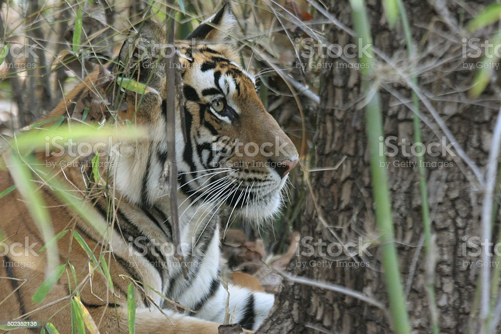 Wild tiger camouflaged in bamboo forest Bandhavgarh National Park India stock photo