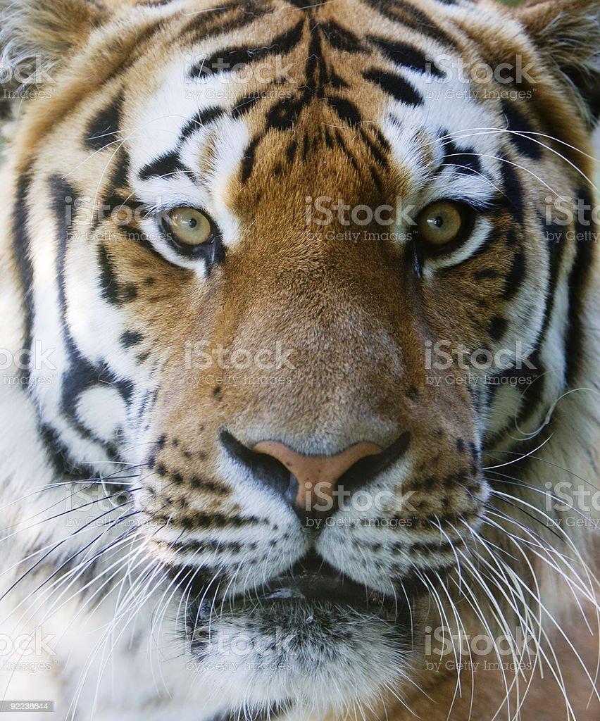 Wild tiger face stock photo