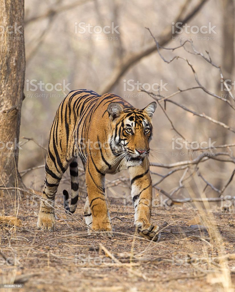 Wild Tiger in Ranthambore National Park, India stock photo