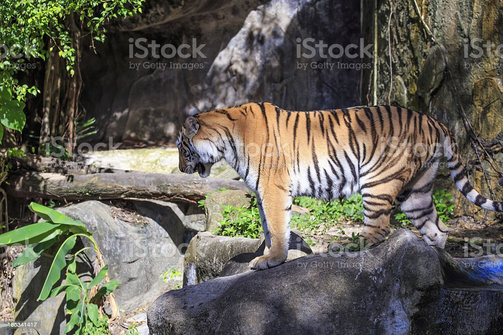 Wild tiger stock photo