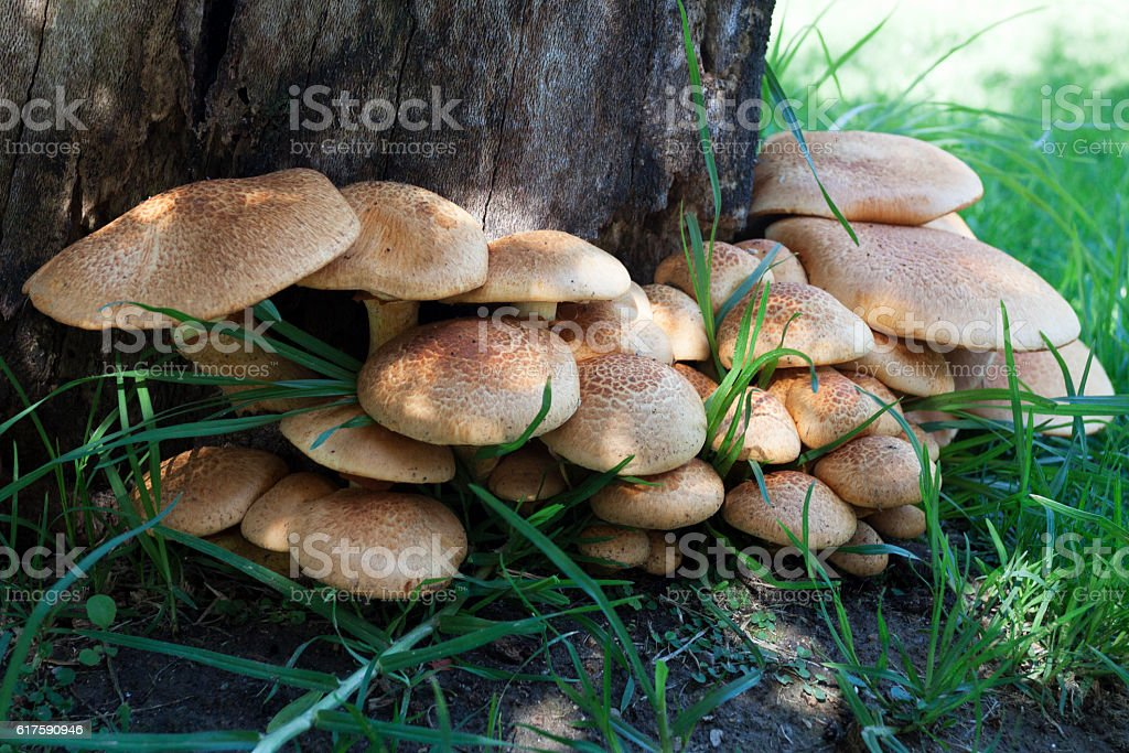 Wild toadstools clustered at base of dead tree stump stock photo