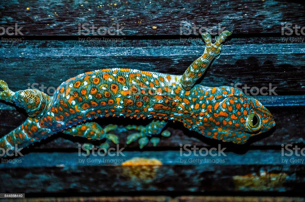 Wild Tokay Gecko on ceiling at night, Koh Kood. Thailand stock photo