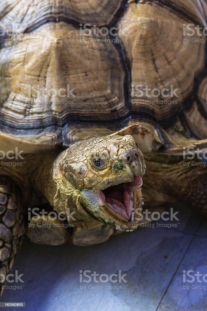 Wild Tortoise royalty-free stock photo