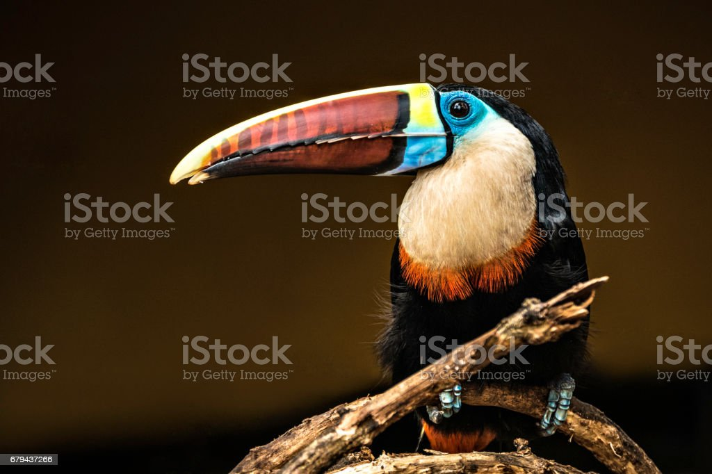 Wild Toucan sitting on a tree in Canaima rainforest. Venezuela stock photo