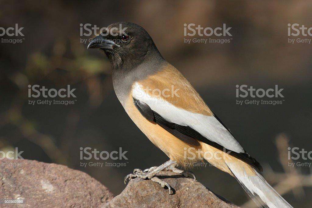 Wild treepie bird perched on rock Ranthambore National Park India stock photo