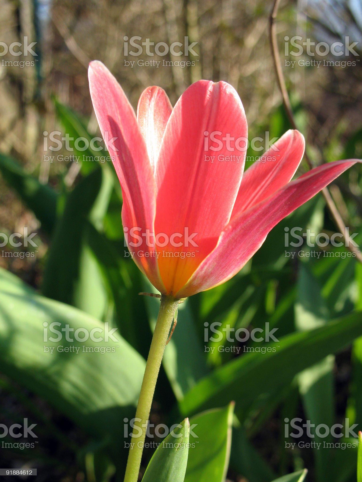 Wild tulip royalty-free stock photo