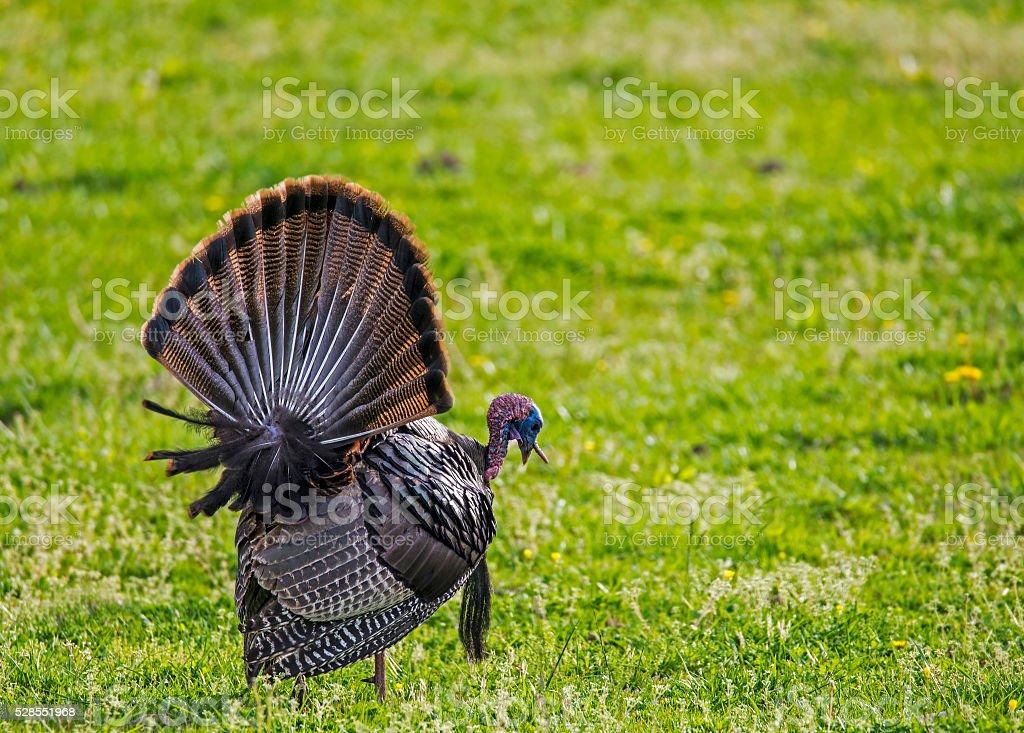 Wild Turkey feeding in green grass in Cades Cove. stock photo