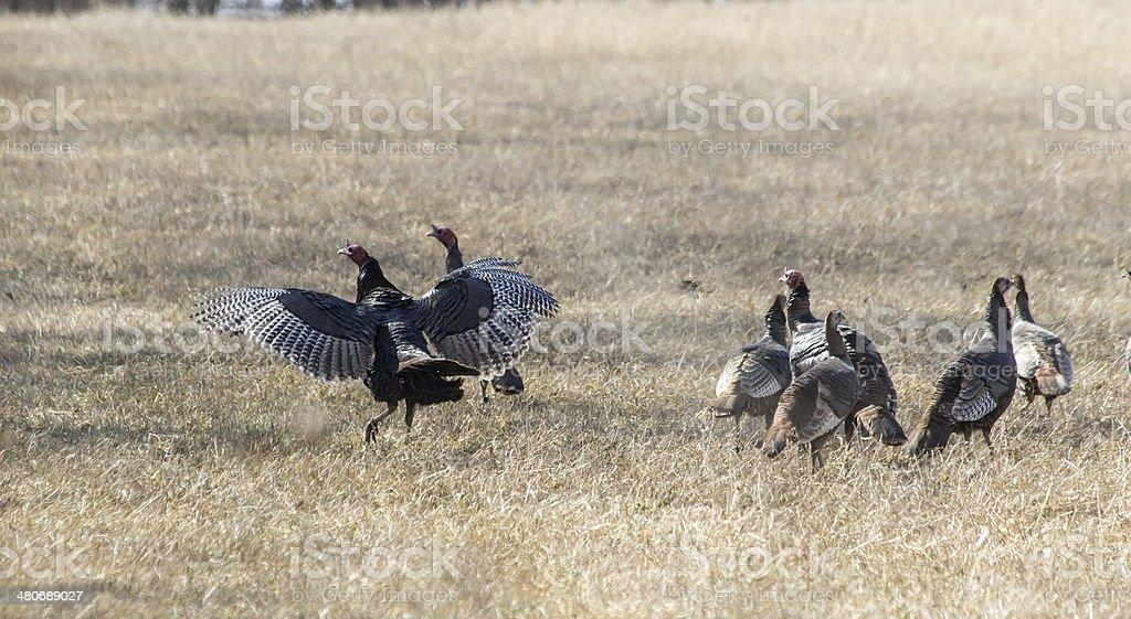 Wild Turkey stock photo