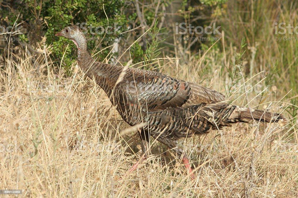 Wild Turkey royalty-free stock photo