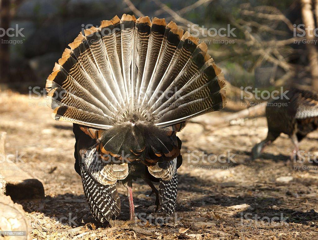 Wild Turkey Strutting with a Hen royalty-free stock photo