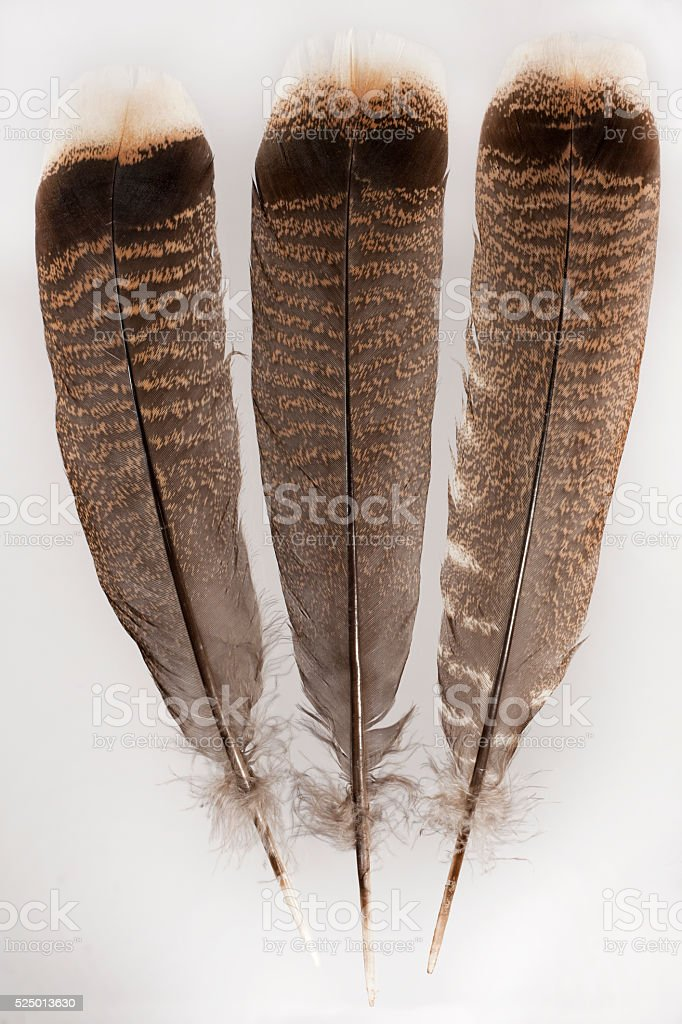 Wild turkey tail feather collection Colorado stock photo