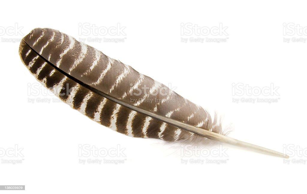 Wild Turkey Wing Feather stock photo