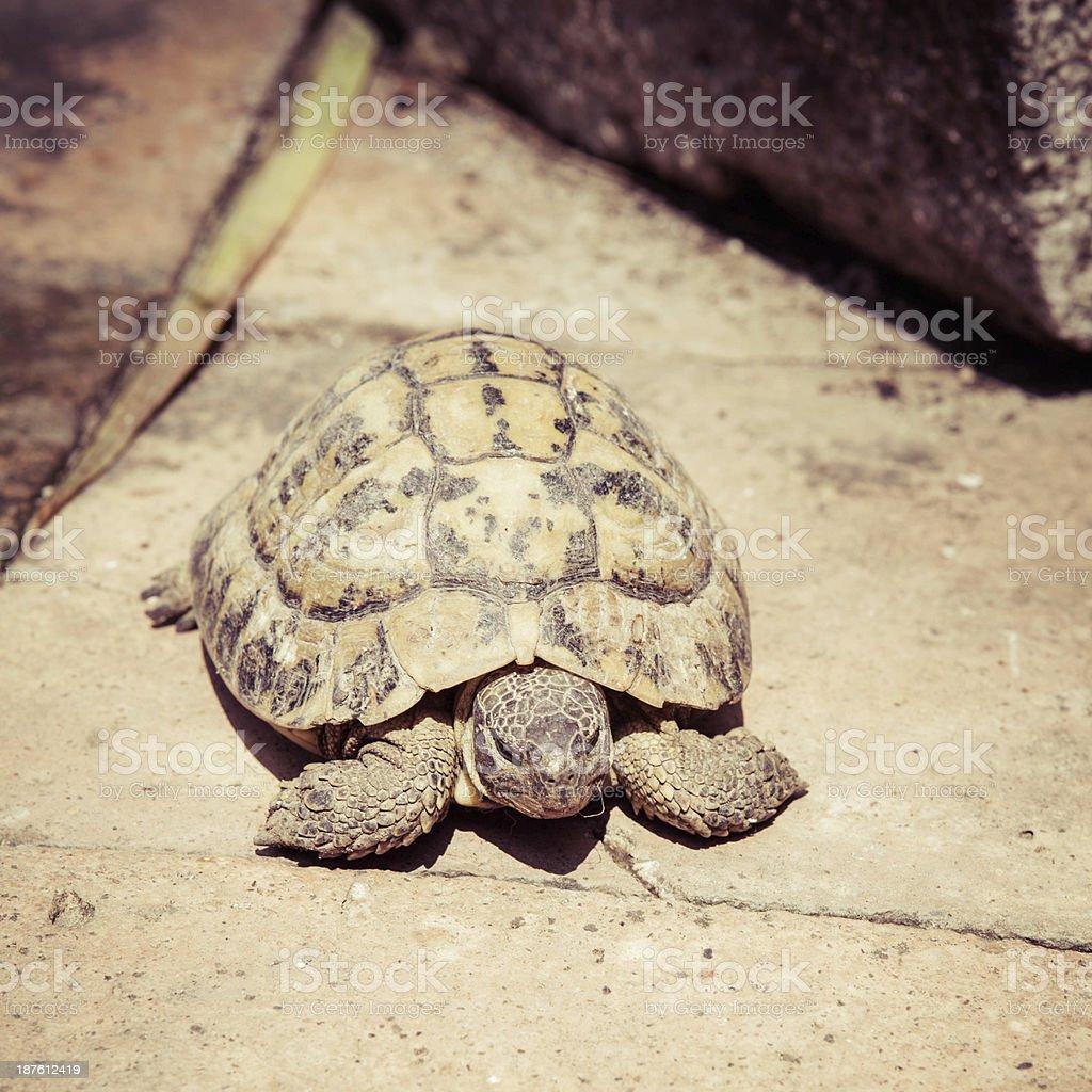 Wild turtle - Hermann's tortoise (Testudo hermanni) stock photo
