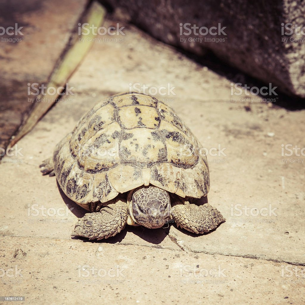 Wild turtle - Hermann's tortoise (Testudo hermanni) stock photo