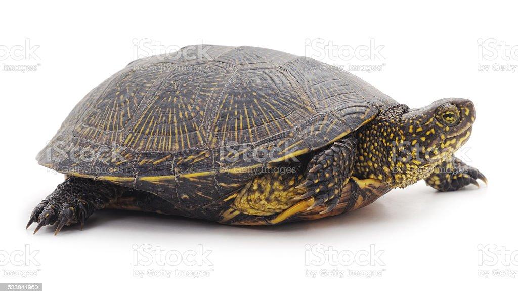 Wild turtle. stock photo
