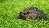 Wild turtle Seychelles