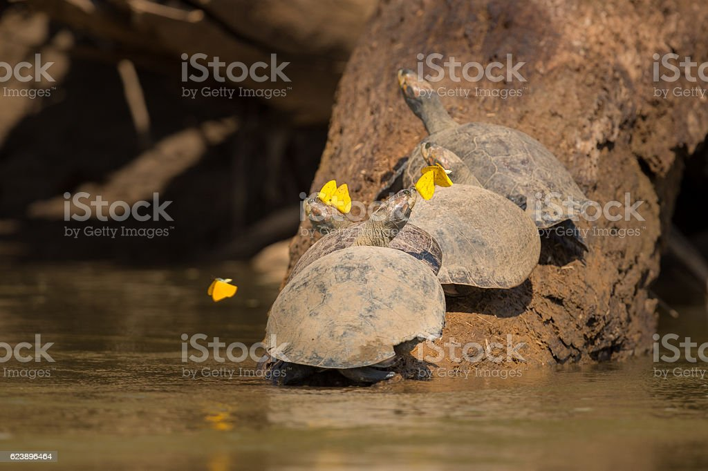 Wild turtles on a tree with butterflies stock photo