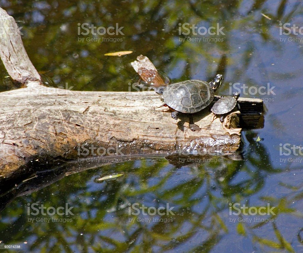 Wild turtles stock photo
