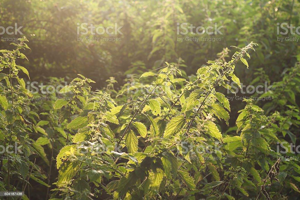 wild urtica plants stock photo