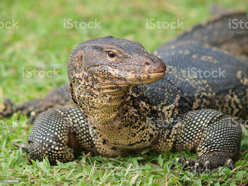 Wild varanus on the water stock photo