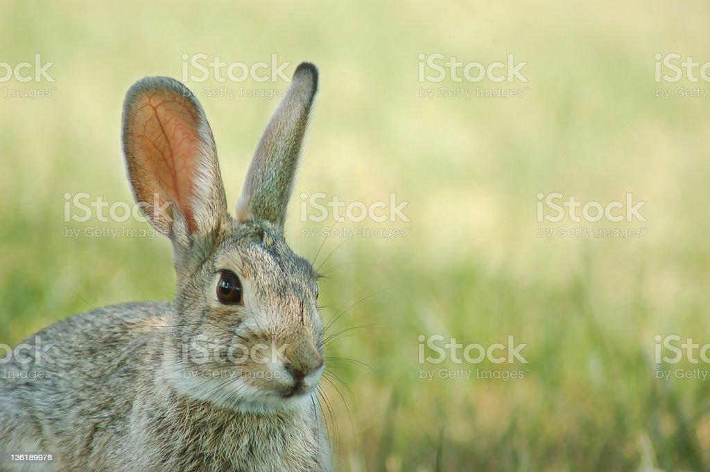 Dziki Village Bunny zbiór zdjęć royalty-free