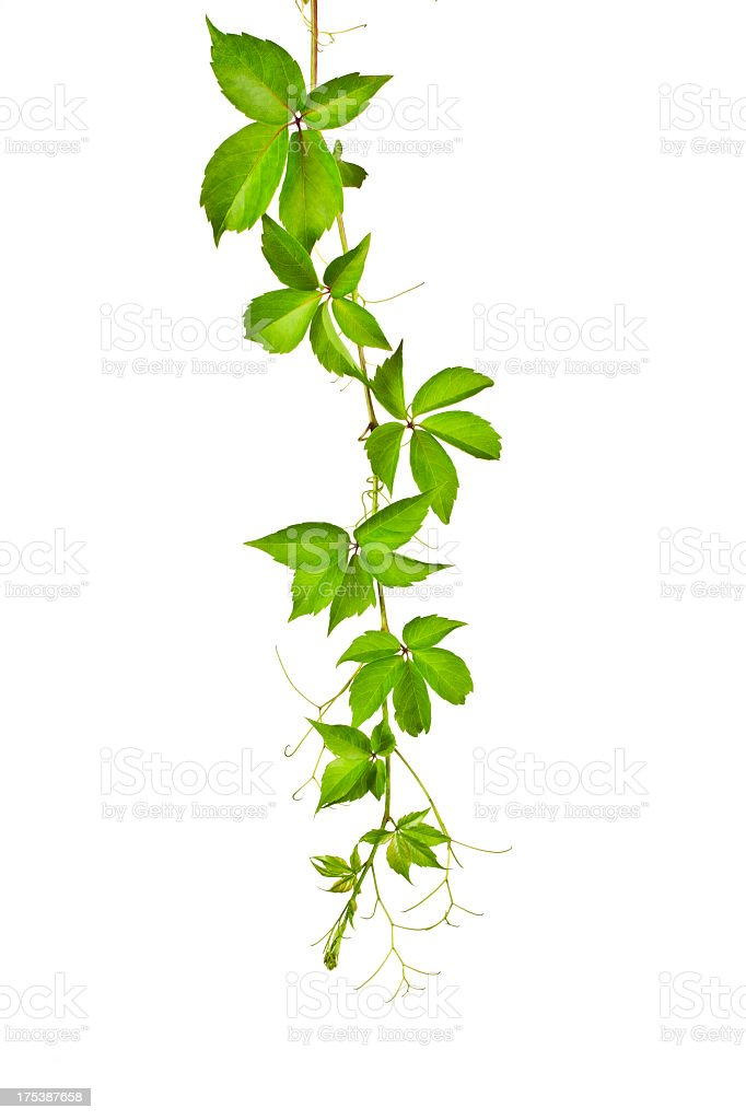 Wild Vine (Parthenocissus Tricuspidata). stock photo