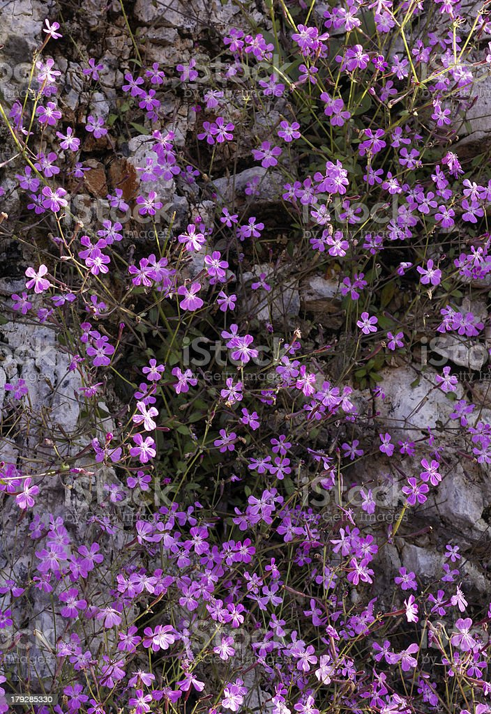 Wild violet flowers on rock royalty-free stock photo