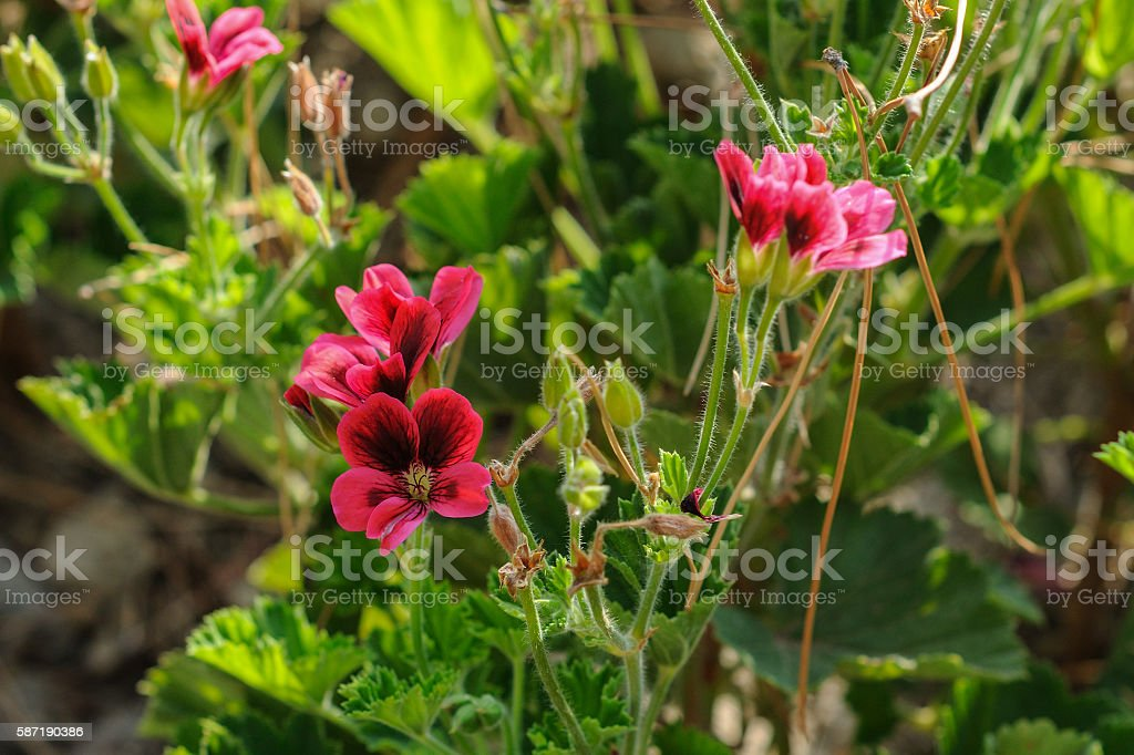 Wild violet mallow flowers in garden at sunset times stock photo