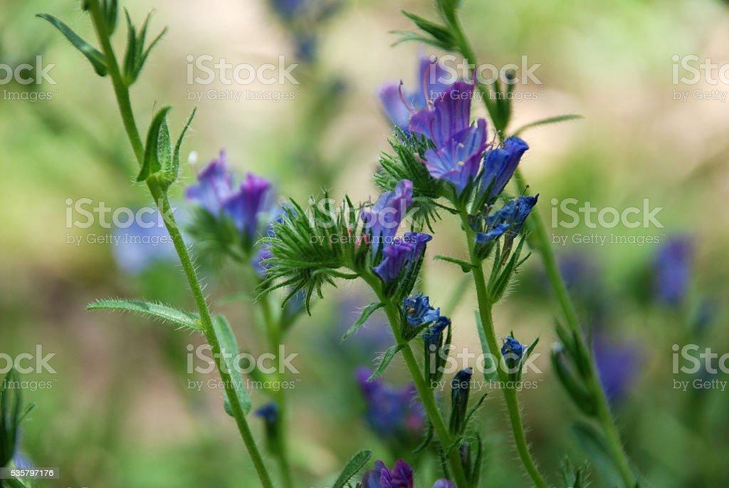 Violeta silvestre stock photo