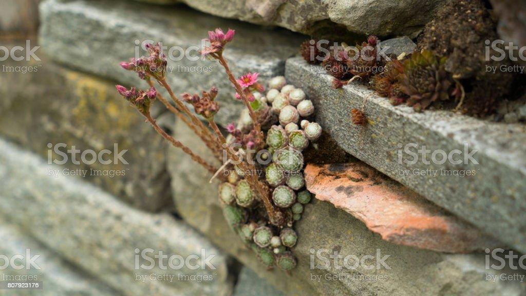 wild violets growing between stones stock photo
