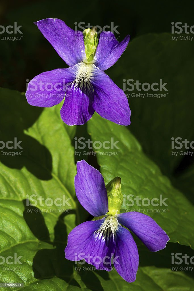 Wild Violets foto stock royalty-free