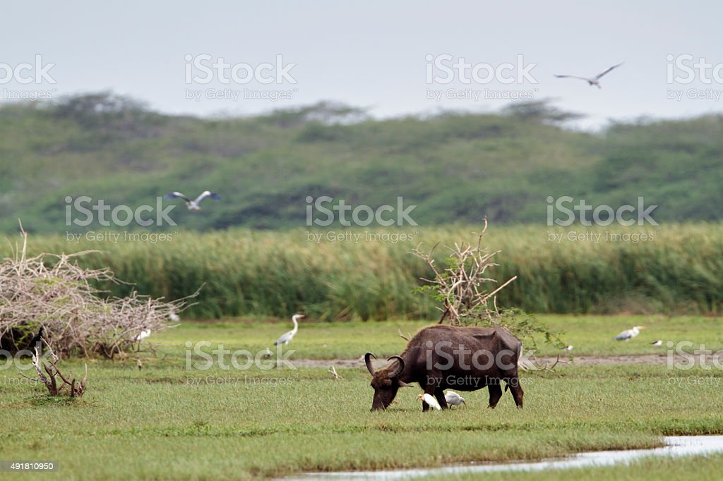 Wild water buffalo in Bundala national park, Sri Lanka stock photo