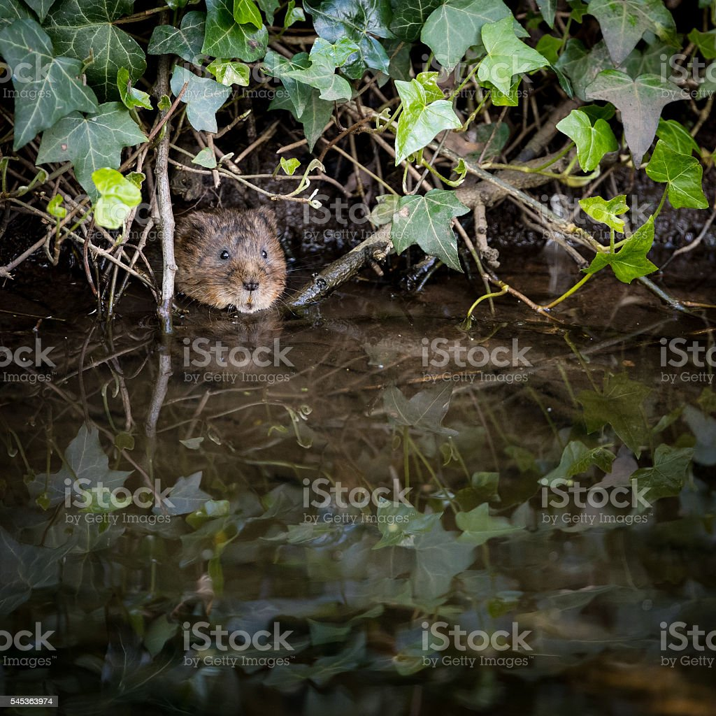 Wild Water vole peeping from burrow in ivy stock photo