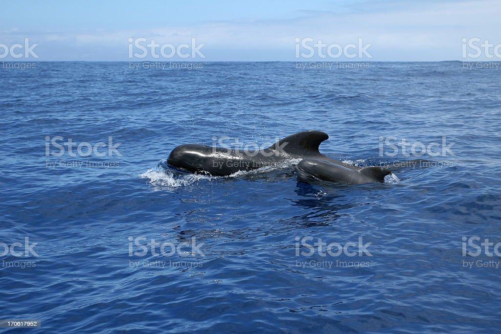 wild whales family Teneriffe stock photo