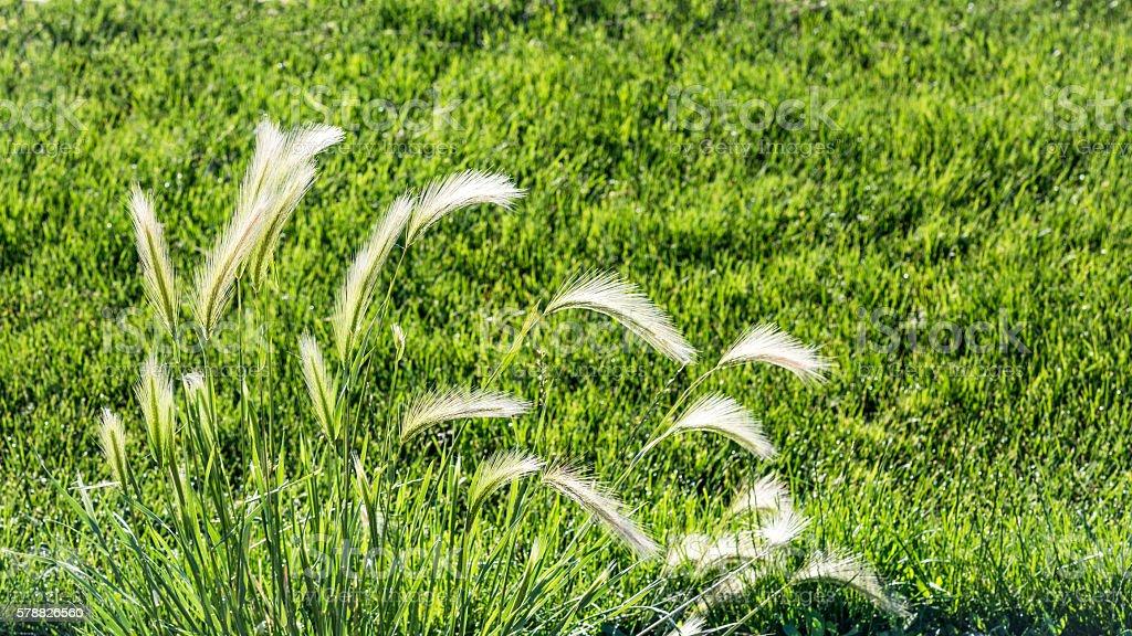 Wild wheat grass growing along a field stock photo