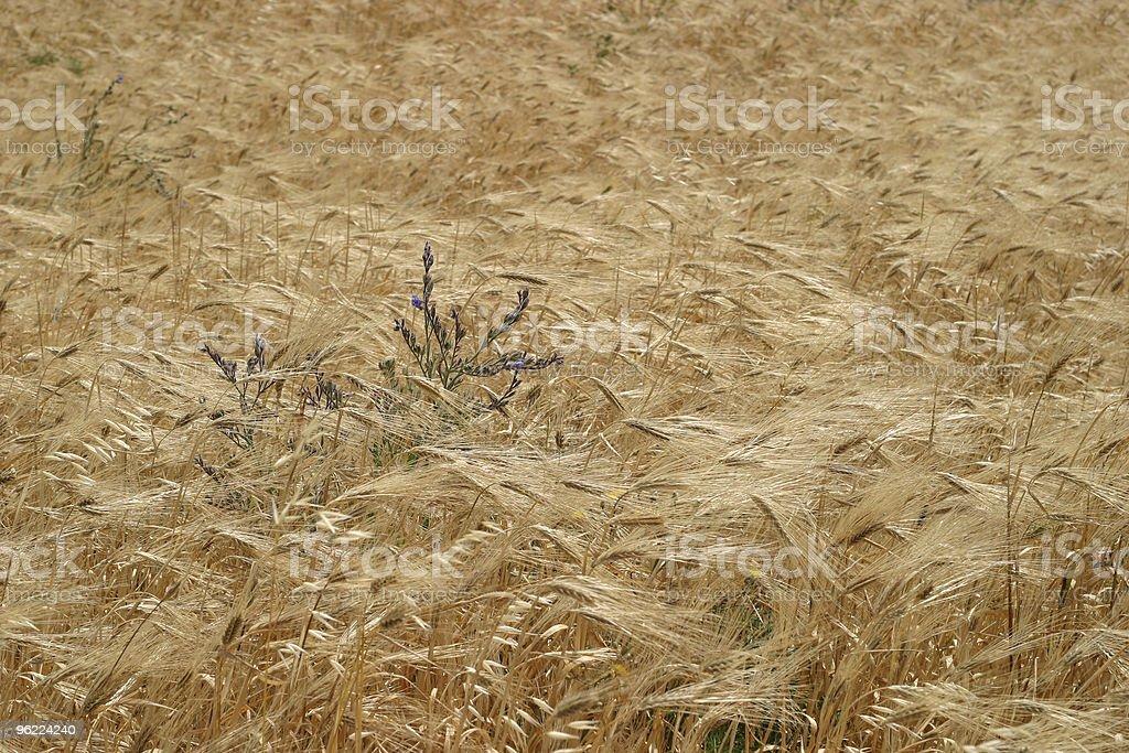 Wild wheat royalty-free stock photo