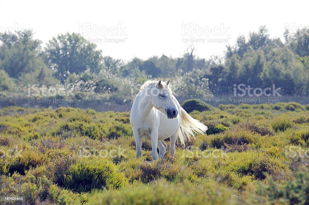 Wild white Camargue horse stock photo
