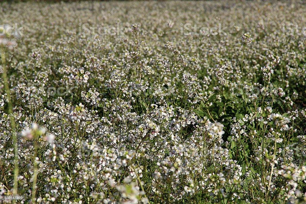 flores blancas silvestres stock photo