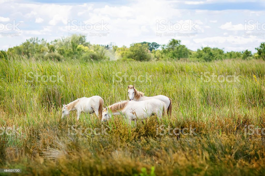 wild white horse of the Camargue, France, stock photo