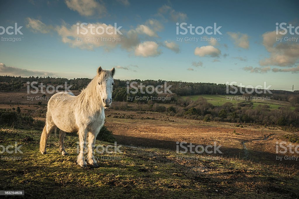 Wild White horse, The New Forest, England stock photo