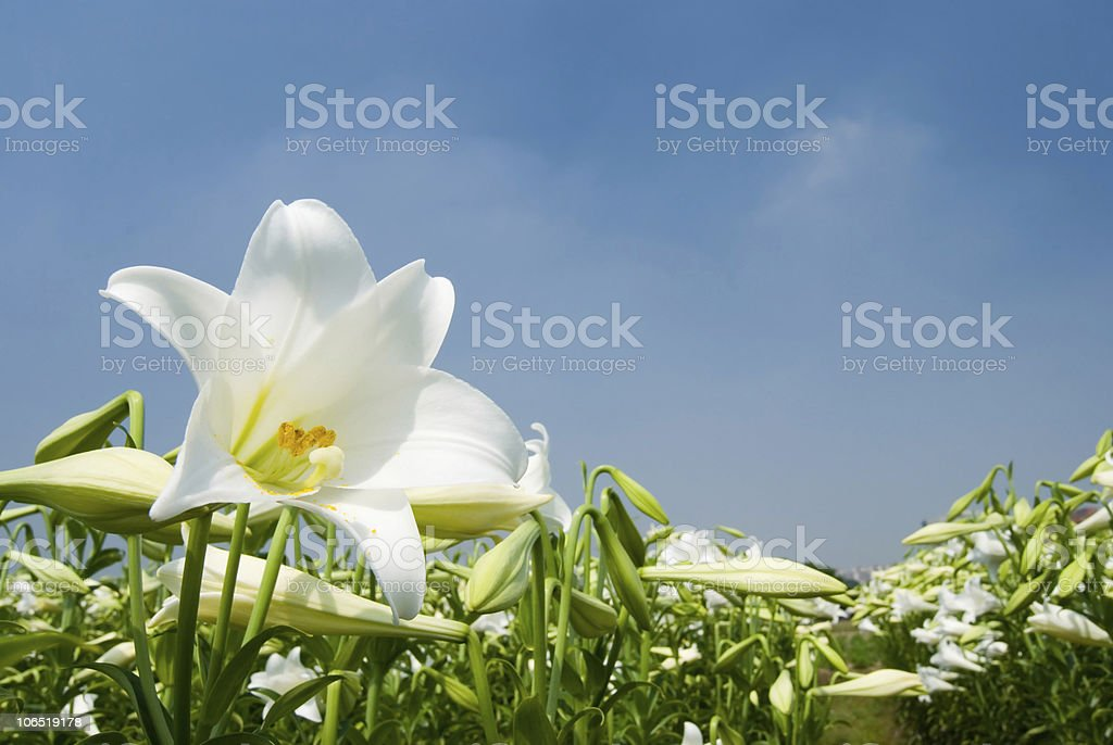 wild White lily under sunlight stock photo